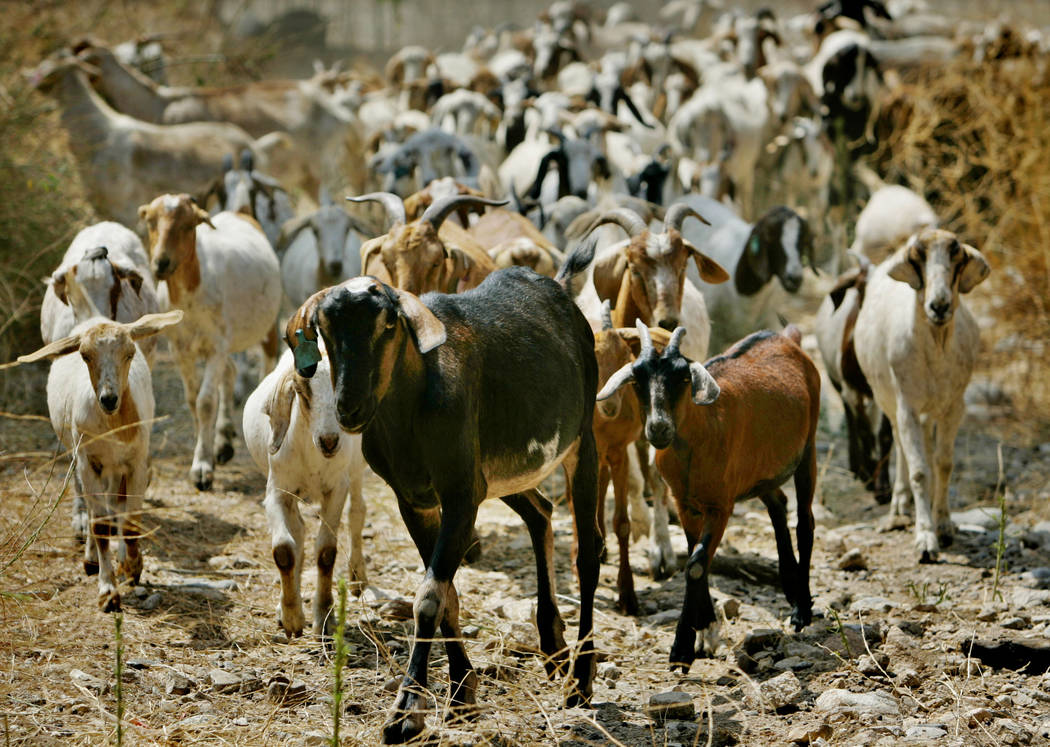 In this Aug. 16, 2005, file photo, nearly 300 goats from a ranch in southern Oregon are led up to consume as much brush as they can in Sycamore Canyon Park in the hills above Claremont, Calif. (AP ...