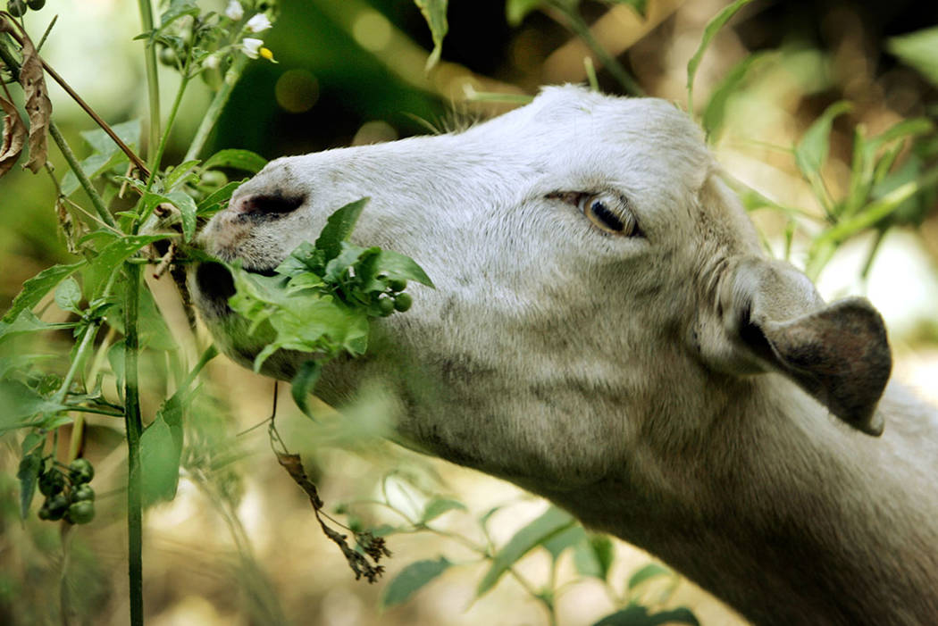 In this Aug. 16, 2005, photo, a goat from a ranch in southern Oregon chews on low-hanging foliage in Sycamore Canyon Park in the hills above Claremont, Calif. (AP Photo/Reed Saxon, File)