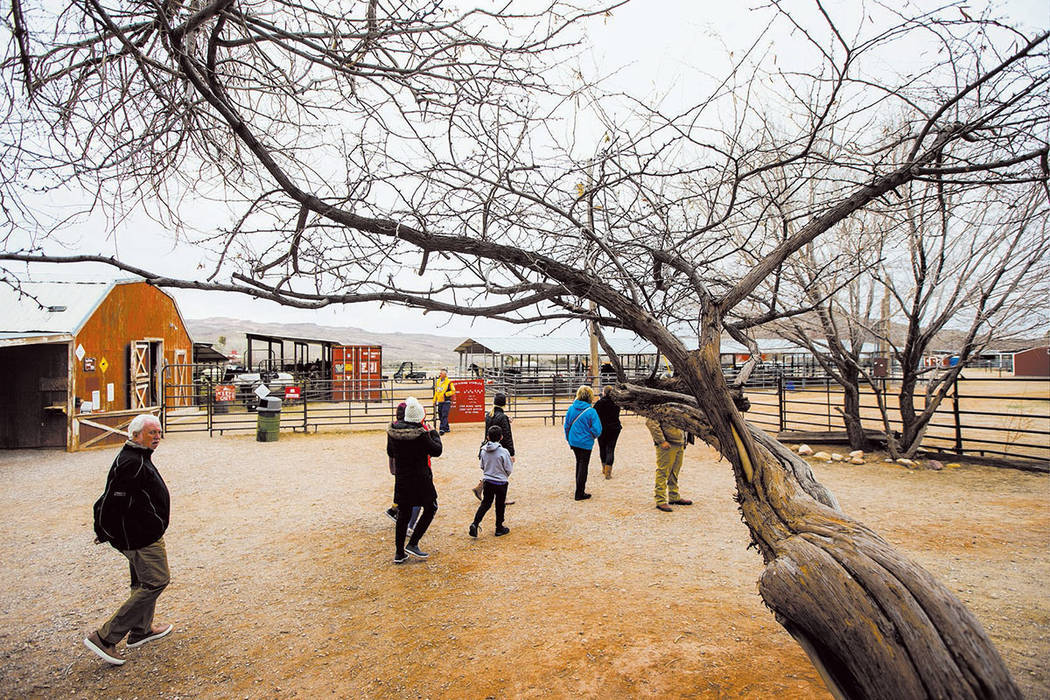 Visitors walk around the Red Rock Riding Stables at Bonnie Springs Ranch outside of Las Vegas on Saturday, Jan. 12, 2019. (Chase Stevens Las Vegas Review-Journal @csstevensphoto)