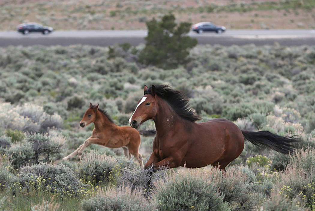 A herd of wild horses graze near Highway 50 in Mound House, Nev., on Tuesday, April 26, 2016. Cathleen Allison/Las Vegas Review-Journal