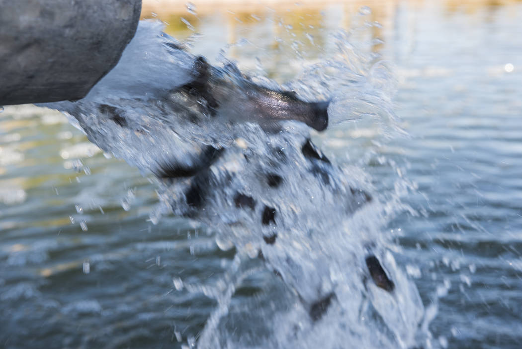 State stocks more than 12K trout at Las Vegas Valley ponds | Las