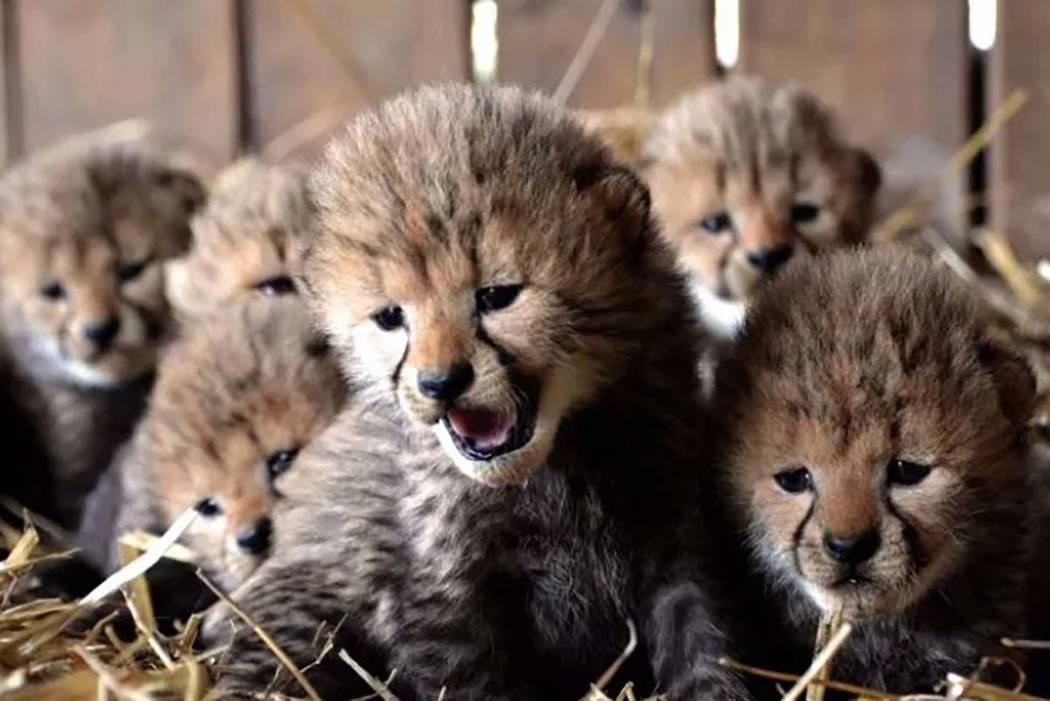 3 Wild Lions Enter Hotel Compound Video
