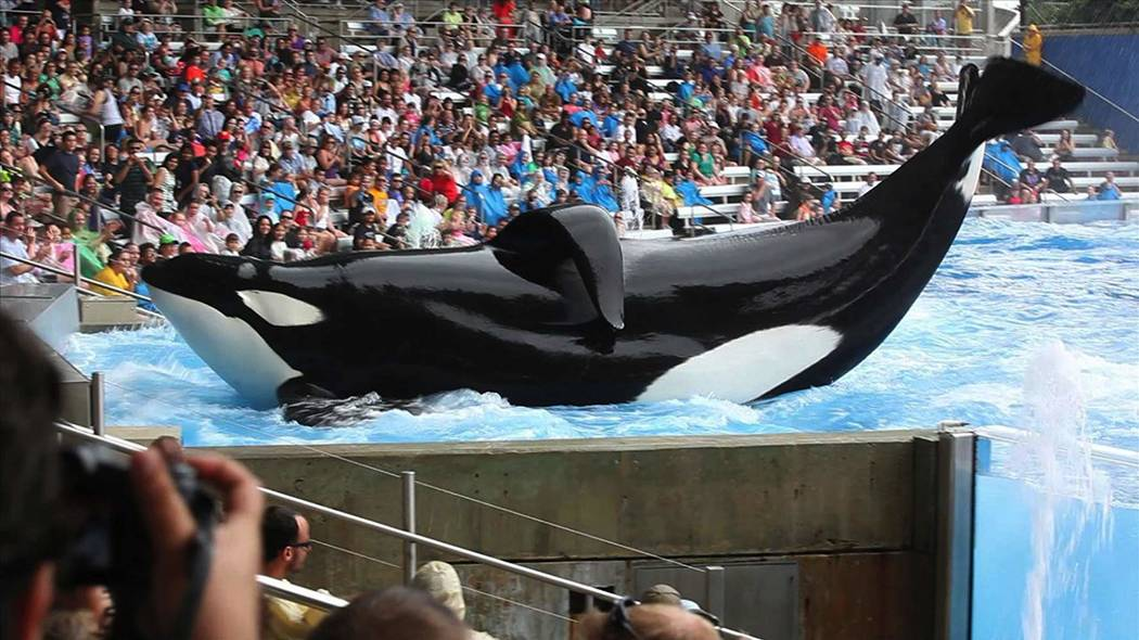 """The orca Tilikum appears in a scene from the documentary """"Blackfish."""" (Magnolia Pictures)"""
