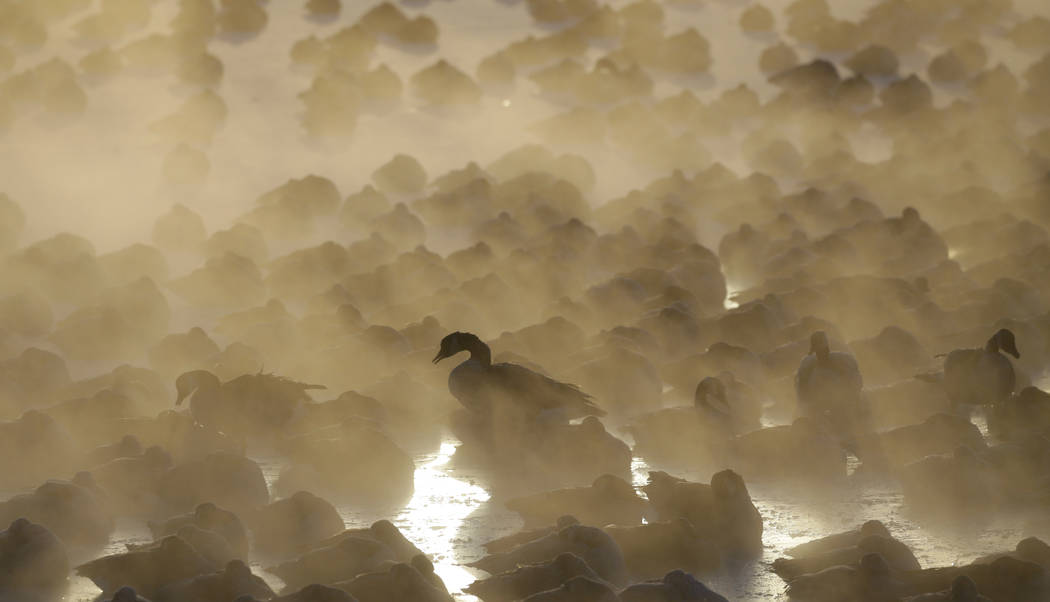Geese huddle in the water as the sun rises at the harbor in Port Washington, Wis., on Wednesday, Jan. 30, 2019. A deadly arctic deep freeze enveloped the Midwest with record-breaking temperatures. ...