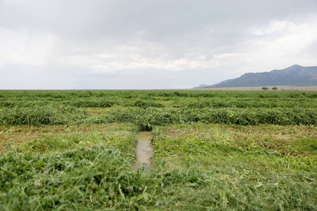 Water in the alfalfa field on the Great Basin Ranch in Spring Valley, Monday, Aug. 7, 2017. Elizabeth Brumley Las Vegas Review-Journal