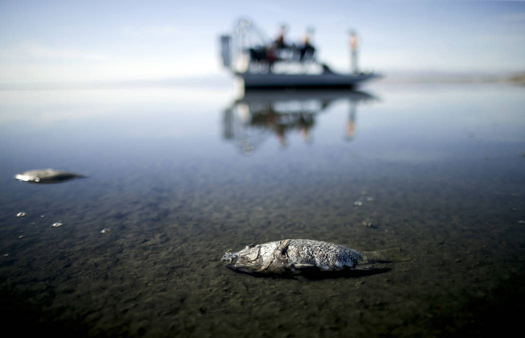 FILE - In this April 29, 2015 file photo, oxygen-starved tilapia float in a shallow Salton Sea bay near Niland, Calif. Proposition 68 would authorize $4 billion in bond funds for parks and environ ...