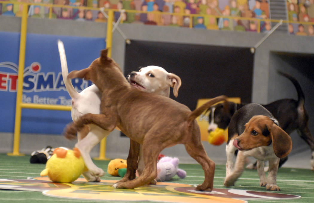Puppies play during Animal Planet's Puppy Bowl in Silver Spring, Md., in this Tuesday, Oct. 16, 2007 file photo. Puppy Bowl IV will premiere on Animal Planet on Feb 3, 2008. (AP Photo/Stephen J B ...
