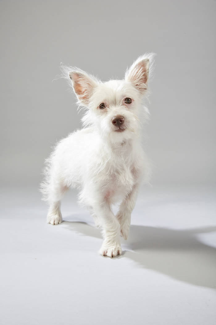 George, a chihuahua-miniature poodle mix from the Nevada SPCA, is a starter for Team Ruff in Puppy Bowl XV. (Animal Planet)