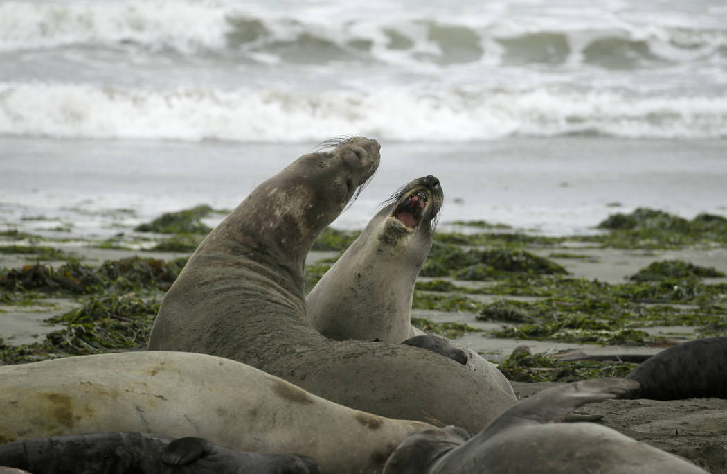Elephant seals and their pups occupy Drakes Beach, Friday, Feb. 1, 2019, in Point Reyes National Seashore, Calif. (AP Photo/Eric Risberg)