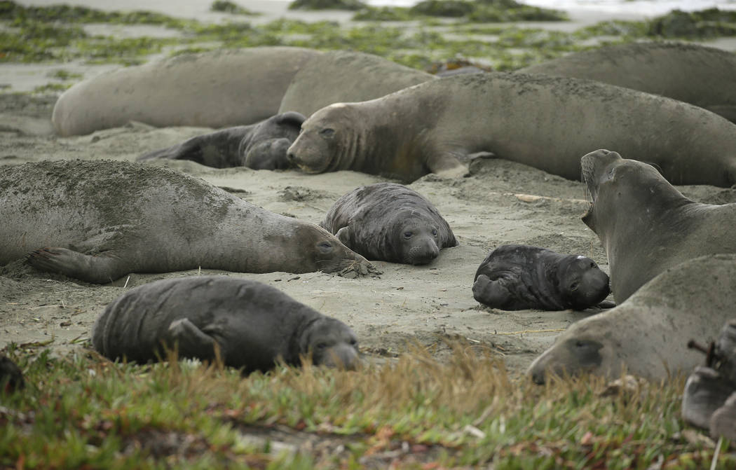 Elephant seals and their pups occupy Drakes Beach, Friday, Feb. 1, 2019, in Point Reyes National Seashore, Calif. T(AP Photo/Eric Risberg)