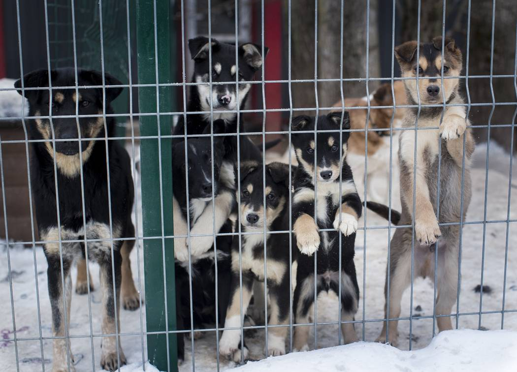 Stray dogs look out of the enclosure on Thursday, Jan. 31, 2019. in Vilnius, Lithuania .A group of Animal lovers in Lithuania have created a mobile application inspired by the popular dating app T ...