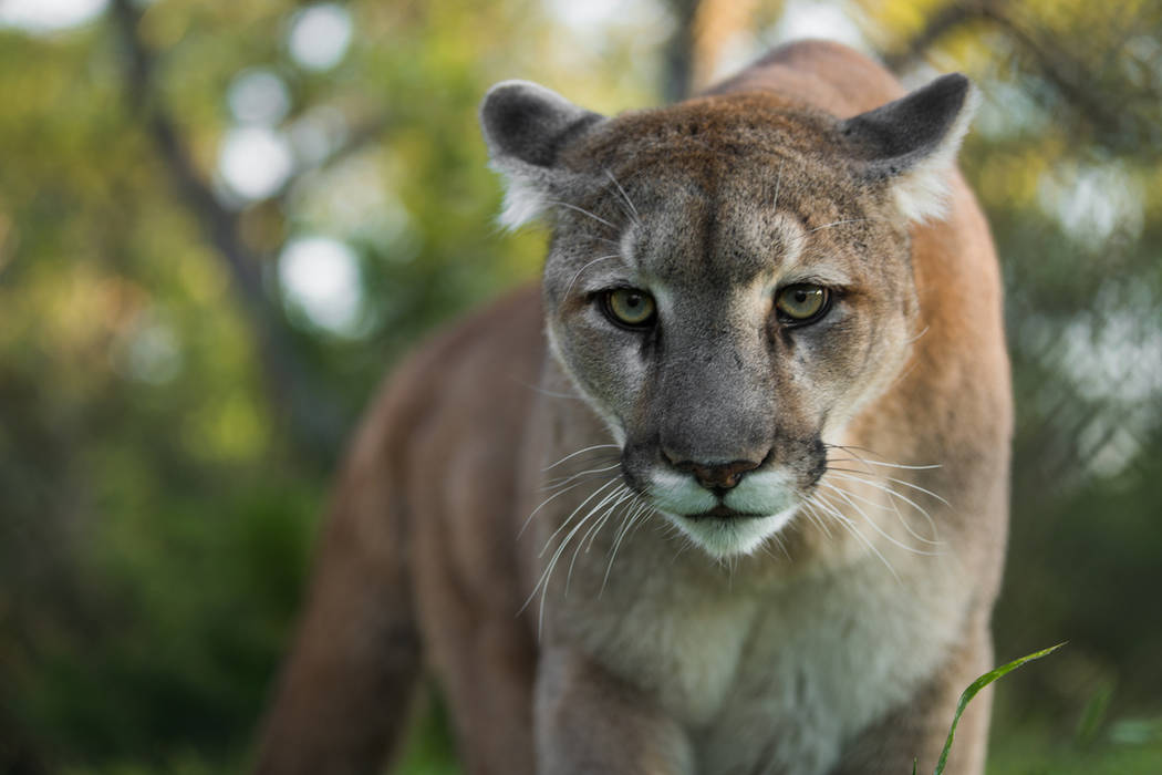 A male Mountain Lion (Getty Images)