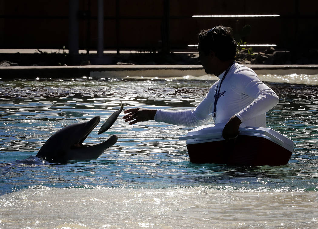A trainer feeds a dolphin a fish, Thursday, Oct. 13, 2016, at Dolphinaris in Scottsdale, Ariz., in October 2016. (AP Photo/Matt York)
