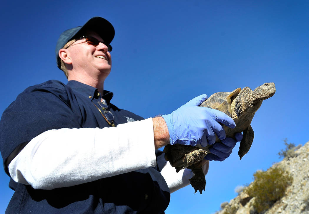 Nevada Department of Wildlife worker Cris Tomlinson releases a desert tortoise into the desert near Primm on Oct. 10, 2014. Clark County Commissioners will vote Tuesday on a proposal that could es ...