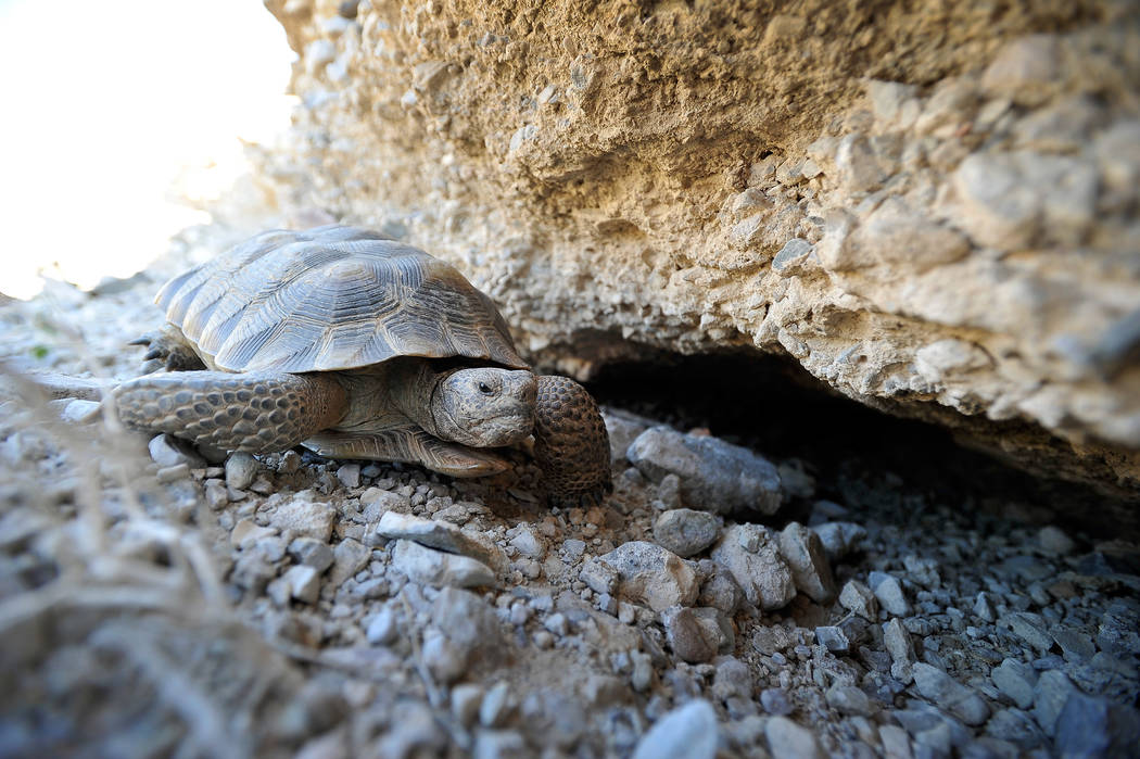 A desert tortoise crawls free after being released into the desert near Primm on Oct. 10, 2014. Clark County Commissioners will vote Tuesday on a proposal that could establish an off-highway-vehic ...