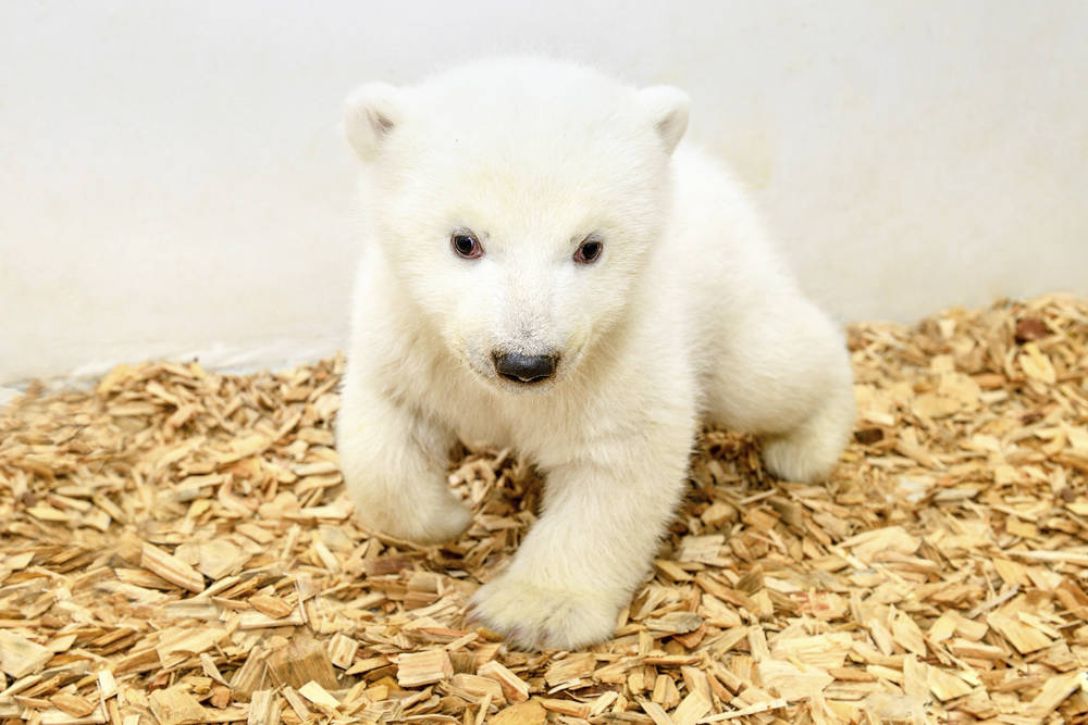 A little female polar bear watches the camera after its first examination by the animal doctors at the zoo in Berlin, Germany, Thursday, Feb. 14, 2019. The still unnamed bear was born Dec. 1, 2018 ...