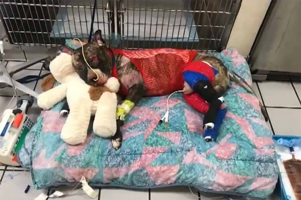 A male brindle pit bull named Tommie was treated by a Richmond, Virginia, shelter after he was set on fire Sunday in a park. He died on Friday. (Screengrab from WRIC, ABC 8)