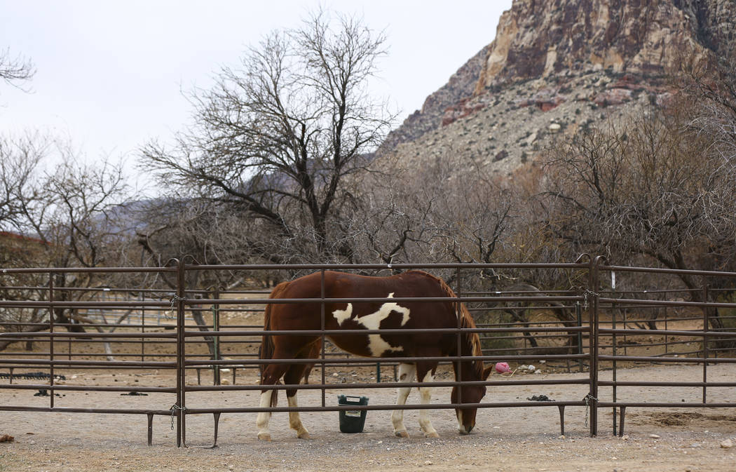 A horse at Bonnie Springs Ranch outside of Las Vegas on Saturday, Jan. 12, 2019. The Clark County Planning Commission early Wednesday, Feb. 20, 2019, unanimously approved a plan to build 20 homes ...
