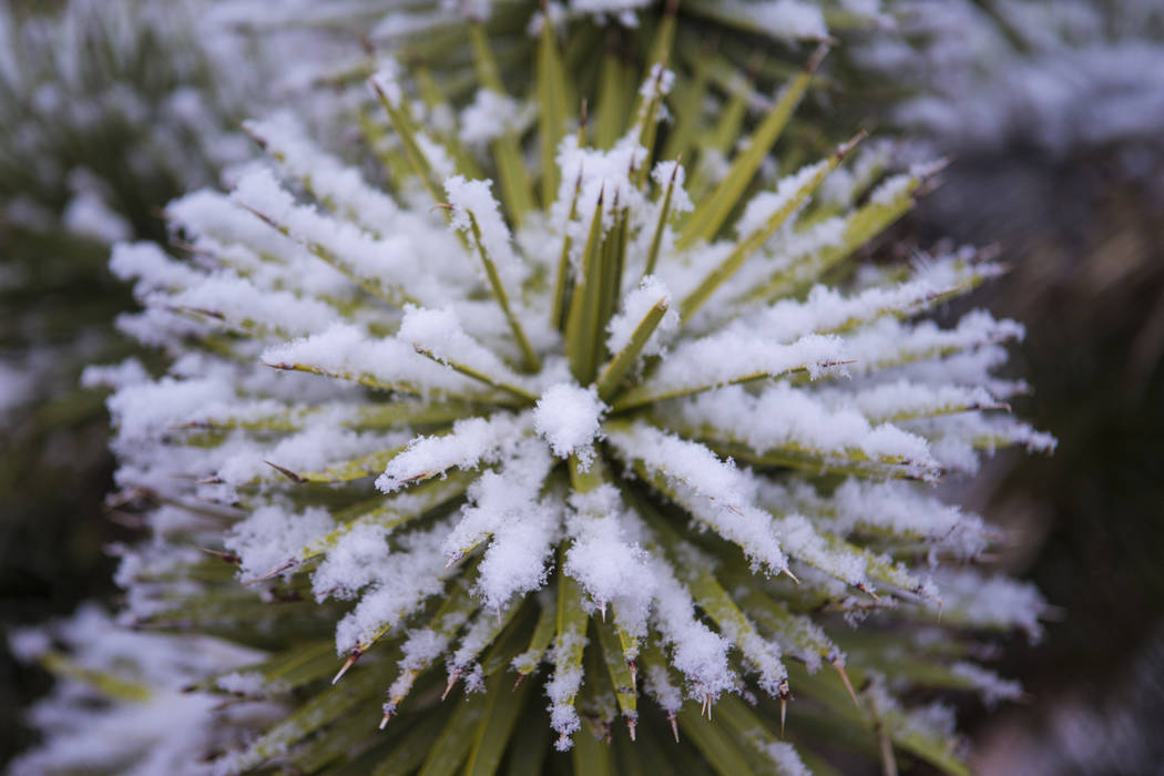 Snow falls onto a cactus around the overlook at the Red Rock Canyon National Conservation Area outside of Las Vegas on Wednesday, Feb. 20, 2019. (Chase Stevens/Las Vegas Review-Journal) @csstevens ...