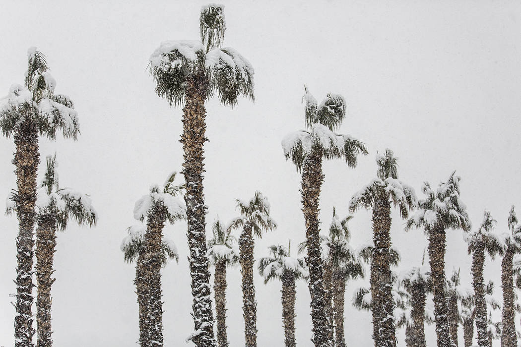 Palm trees are blanketed in snow near the Summerlin Parkway eastbound on Thursday, Feb. 21, 2019, in Las Vegas. (Benjamin Hager Review-Journal) @BenjaminHphoto