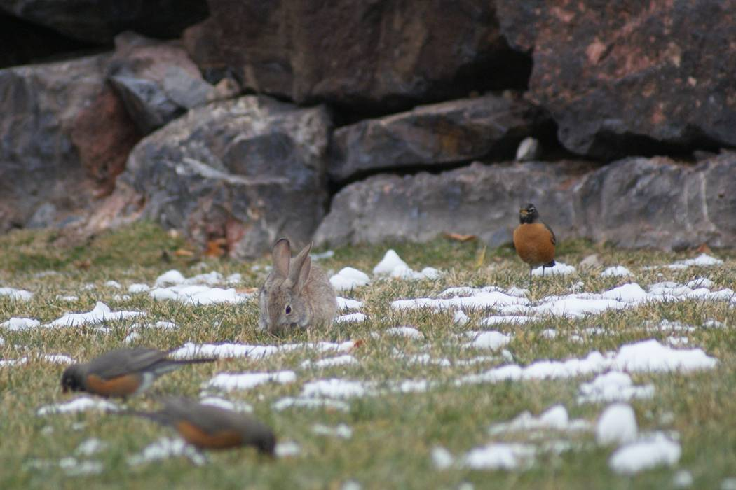 About three dozen American Robins and a pair of Desert Cottontails searched for early dinner in the snow-spotted turf Feb. 21 at Madeira Canyon Park on the southern edge of Henderson development. ...
