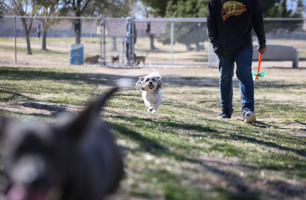 Tucker runs beside his owner, Ernesto Castano, on a warm, sunny day at Woofter Family Park in Las Vegas, Wednesday, Feb. 27, 2019. (Caroline Brehman/Las Vegas Review-Journal) @carolinebrehman