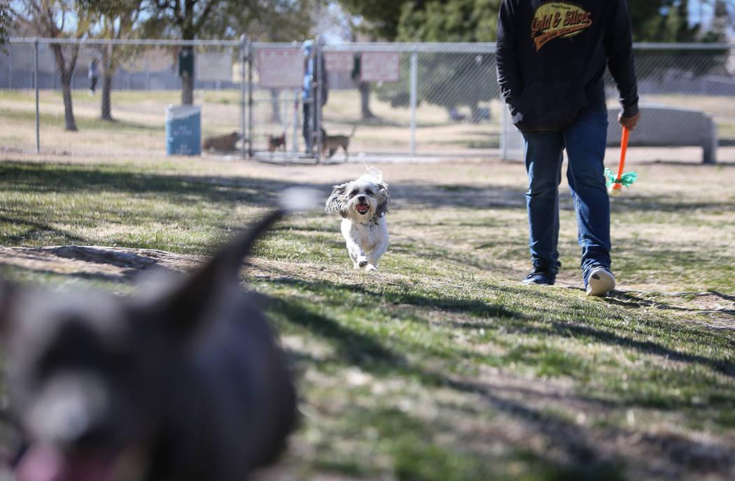 Tucker runs beside his owner, Ernesto Castano, on a warm, sunny day at Woofter Family Park in Las Vegas, Wednesday, Feb. 27, 2019. (Caroline Brehman/Las Vegas Review-Journal) @carolinebrehman