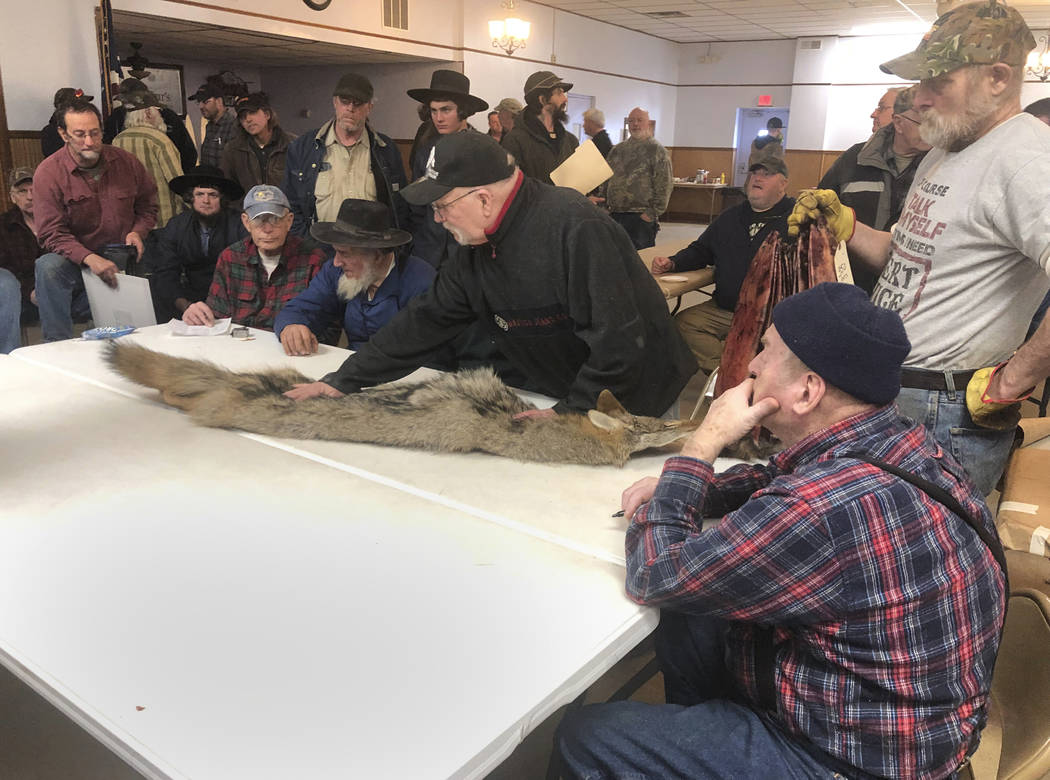 In this Feb. 2, 2019 photo, potential buyers examine a coyote pelt on a table at a trappers' auction is inspected by potential buyers in Herkimer, N.Y. Coyote fur is sold at big auction houses in ...