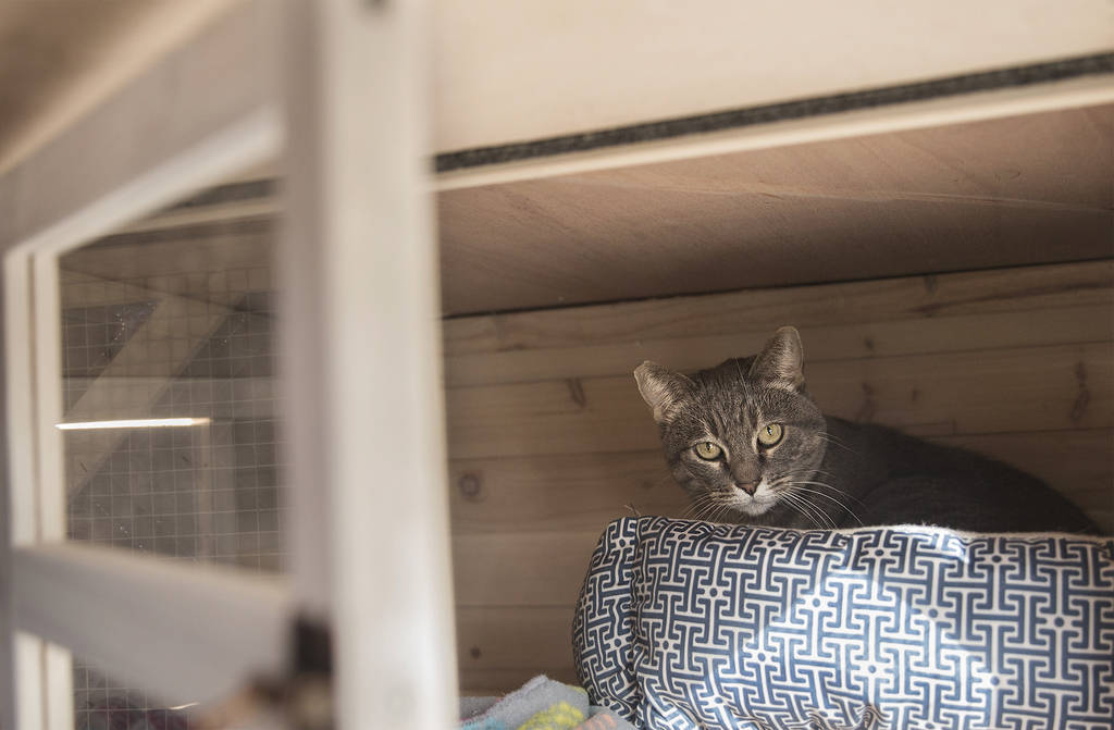 """Koukla, a gray tabby adopted by St. John the Baptist Greek Orthodox Church through the Animal Foundation's """"Working Cat"""" program, on Monday, Feb. 18, 2019, in Las Vegas. (Benjamin Hager Review-Jou ..."""