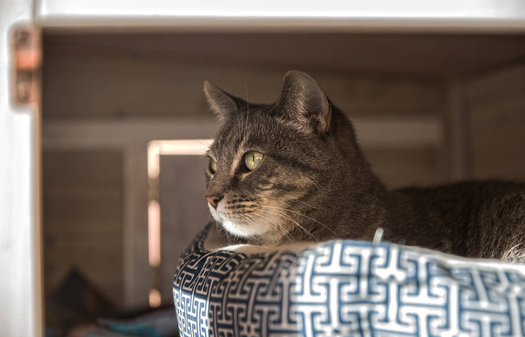 "Koukla, a gray tabby adopted by St. John the Baptist Greek Orthodox Church through the Animal Foundation's ""Working Cat"" program, on Monday, Feb. 18, 2019, in Las Vegas. (Benjamin Hager Review-Jou ..."