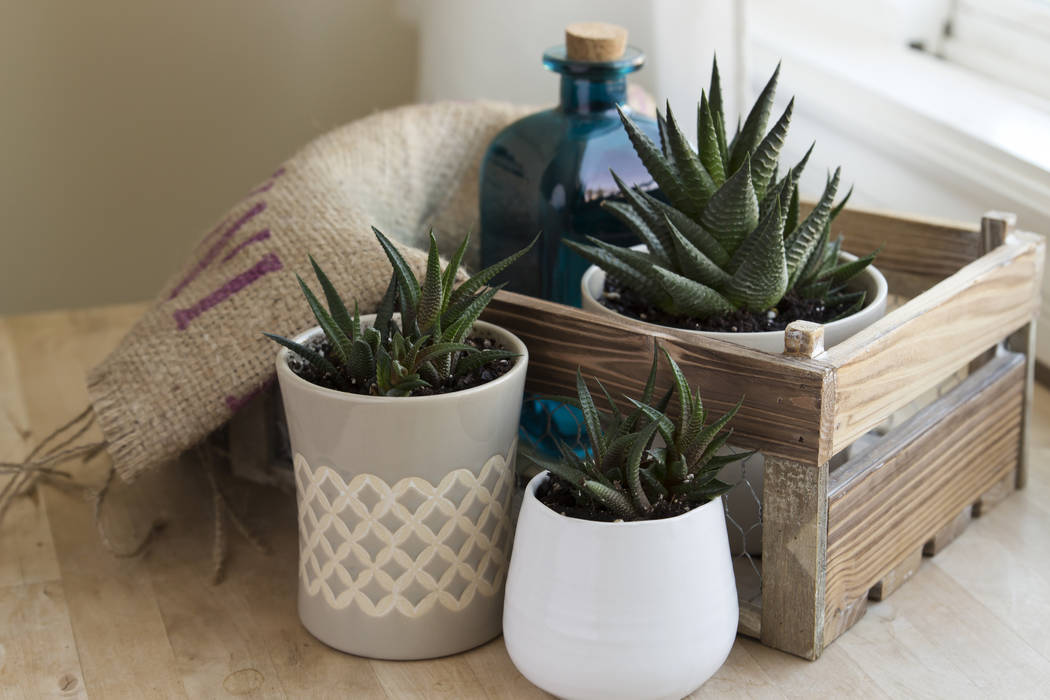Haworthia succulents, including the zebra plant, look like small aloes and are easy to care for ...