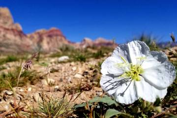 Flowers along First Creek Trail in April 2018 at Red Rock NCA (purple is Phacelia and white is Dune Primrose) (Natalie Burt)