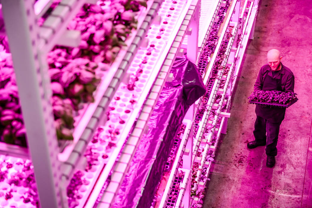 A Green Sense Farms employee holds crops inside a Green Sense Farms grow room with vertical towers in Portage, Indiana. The Henderson City Council passed a resolution last month outlining the city ...