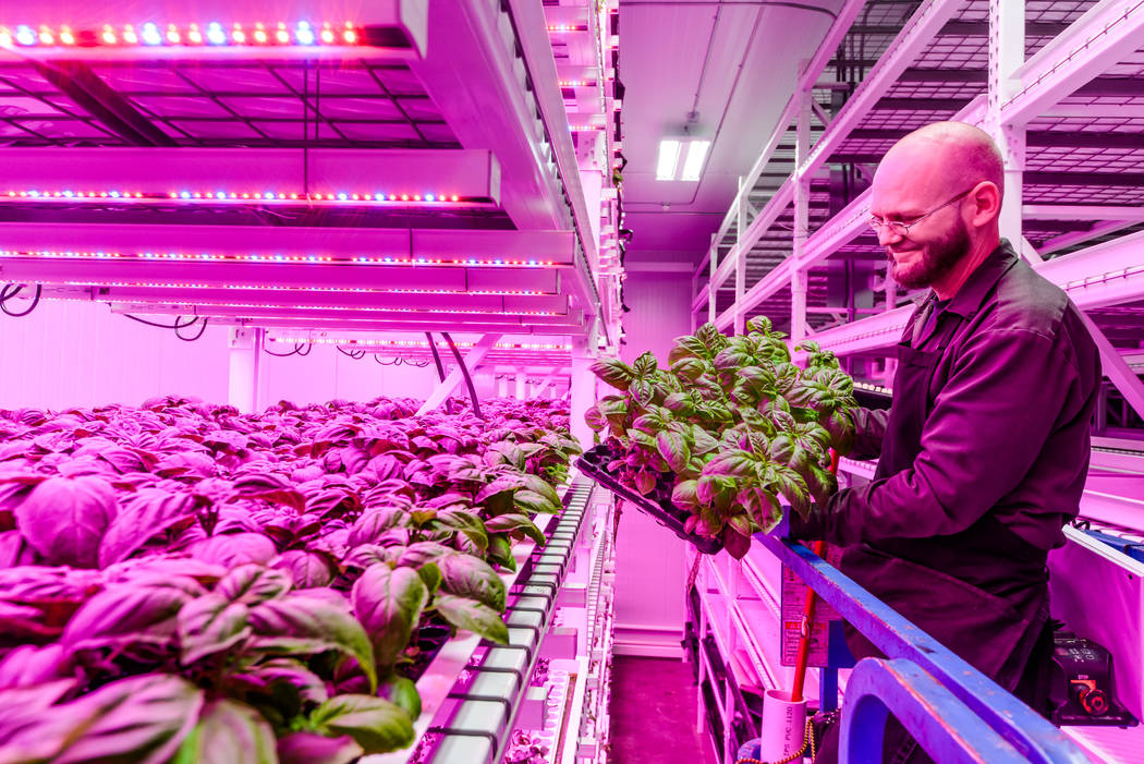 A Green Sense Farms employee displays crops inside a Green Sense Farms grow room with vertical towers in Portage, Indiana. The Henderson City Council passed a resolution last month outlining the c ...