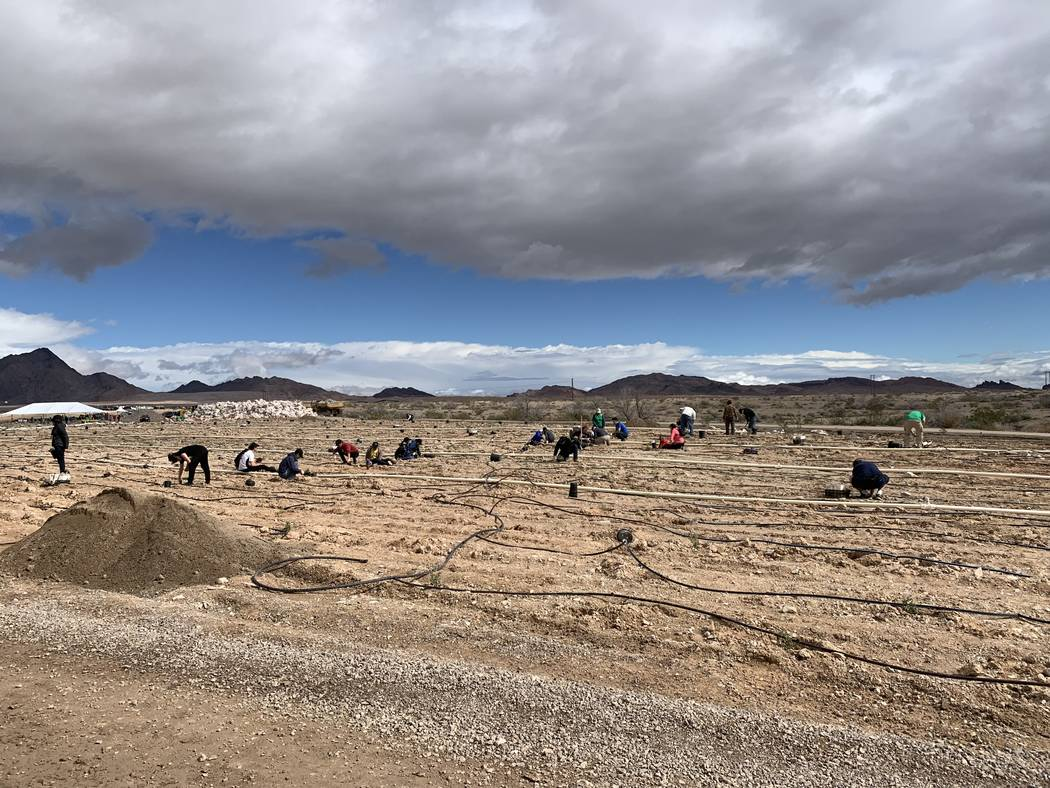 Volunteers and organizers of the semiannual Green-Up project plant thousands of trees and shrubs on Saturday, March 2, 2019, morning at the Las Vegas Wash. (Jessica Terrone/Las Vegas Review-Journal)