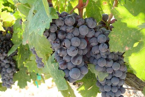Wine grapes such as zinfandel can be grown in Southern Nevada. (Bob Morris)