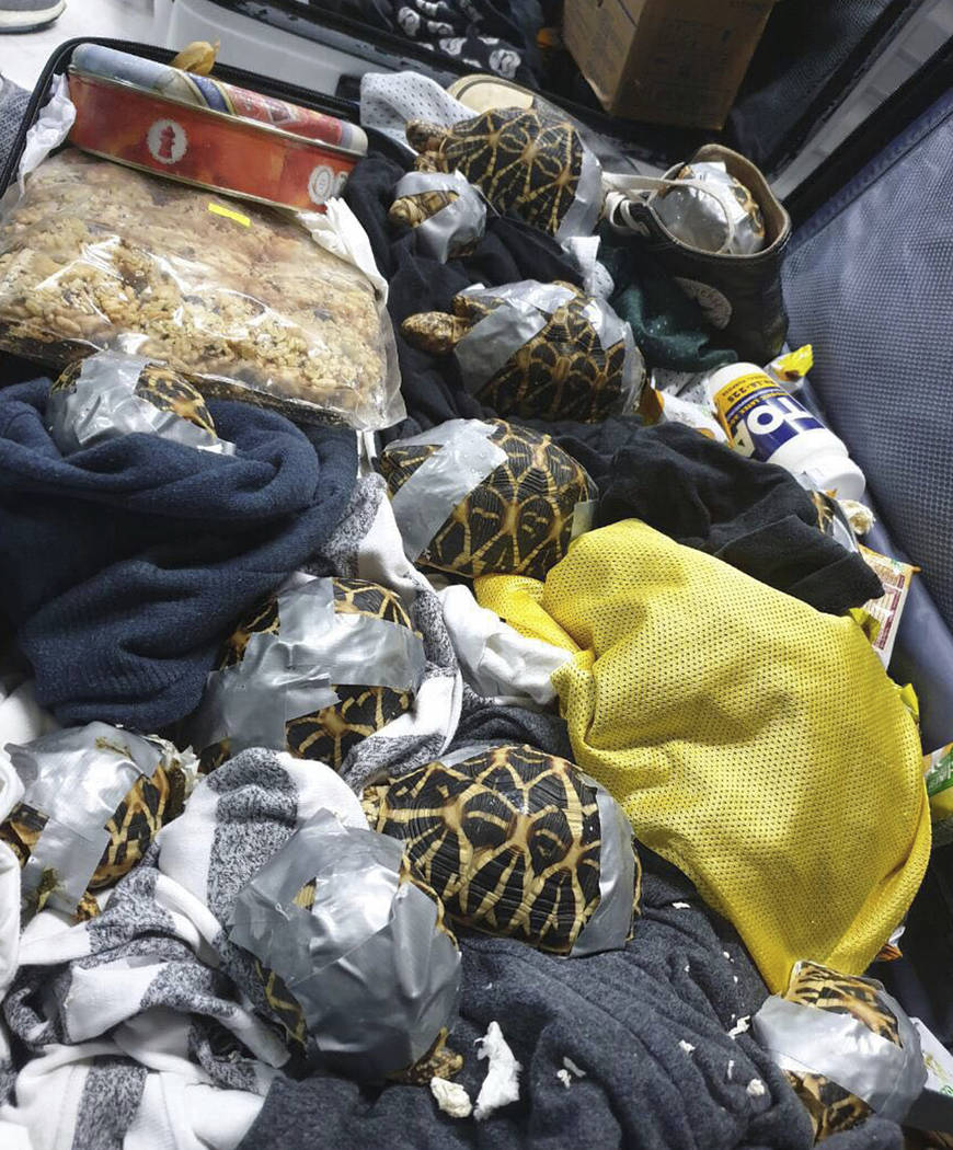 In this March 3, 2019, handout photo provided by the Bureau of Customs Public Information Office, duct taped turtles can be seen inside luggage as they are presented to reporters in Manila, Philip ...