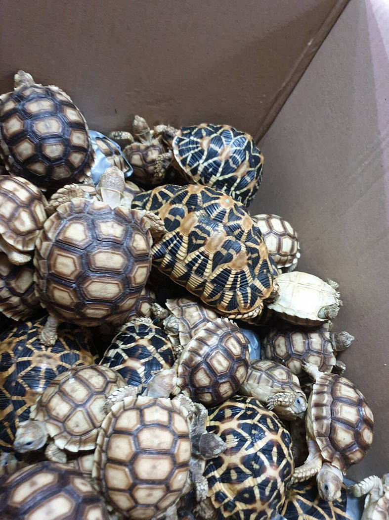 In this March 3, 2019, handout photo provided by the Bureau of Customs Public Information Office, turtles are piled inside a box as they are presented to reporters in Manila, Philippines. Philippi ...