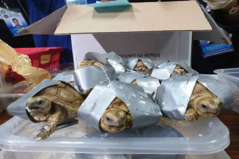 In this March 3, 2019, handout photo provided by the Bureau of Customs Public Information Office, duct taped turtles are presented to reporters in Manila, Philippines. Philippine authorities said ...