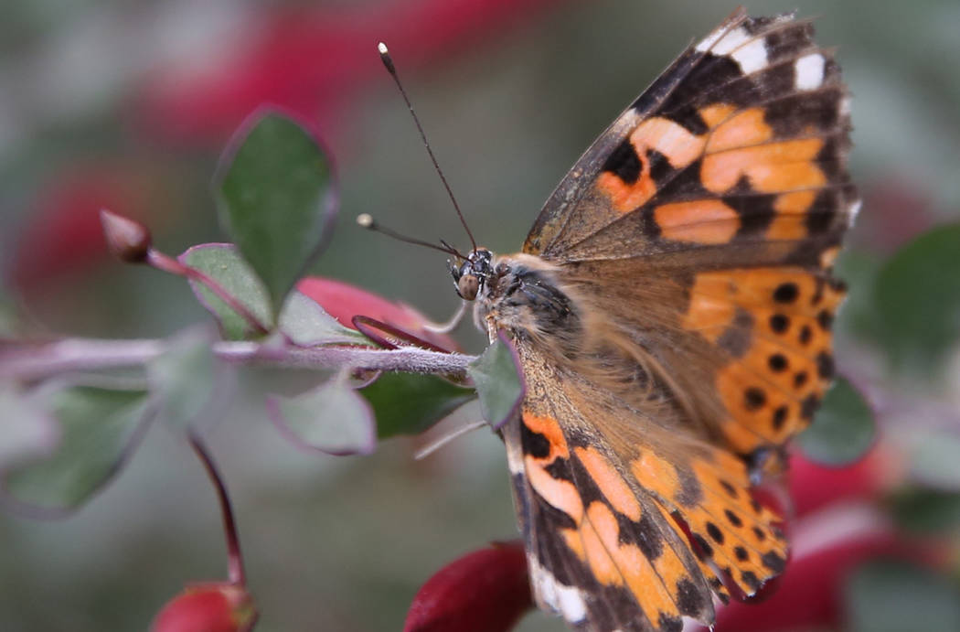 A Painted Lady butterfly at the Butterfly Habitat at Springs Preserve on Tuesday, March. 12, 2019, in Las Vegas. Bizuayehu Tesfaye Las Vegas Review-Journal @bizutesfaye