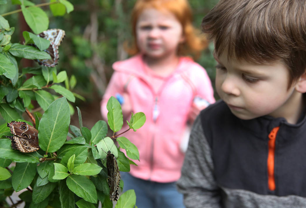 Harry Wilkerson, 4, and his friend Eloise Gillespie, 3, both of Las Vegas, look at Giant Owl butterflies at the Butterfly Habitat at Springs Preserve on Tuesday, March. 12, 2019, in Las Vegas. Biz ...