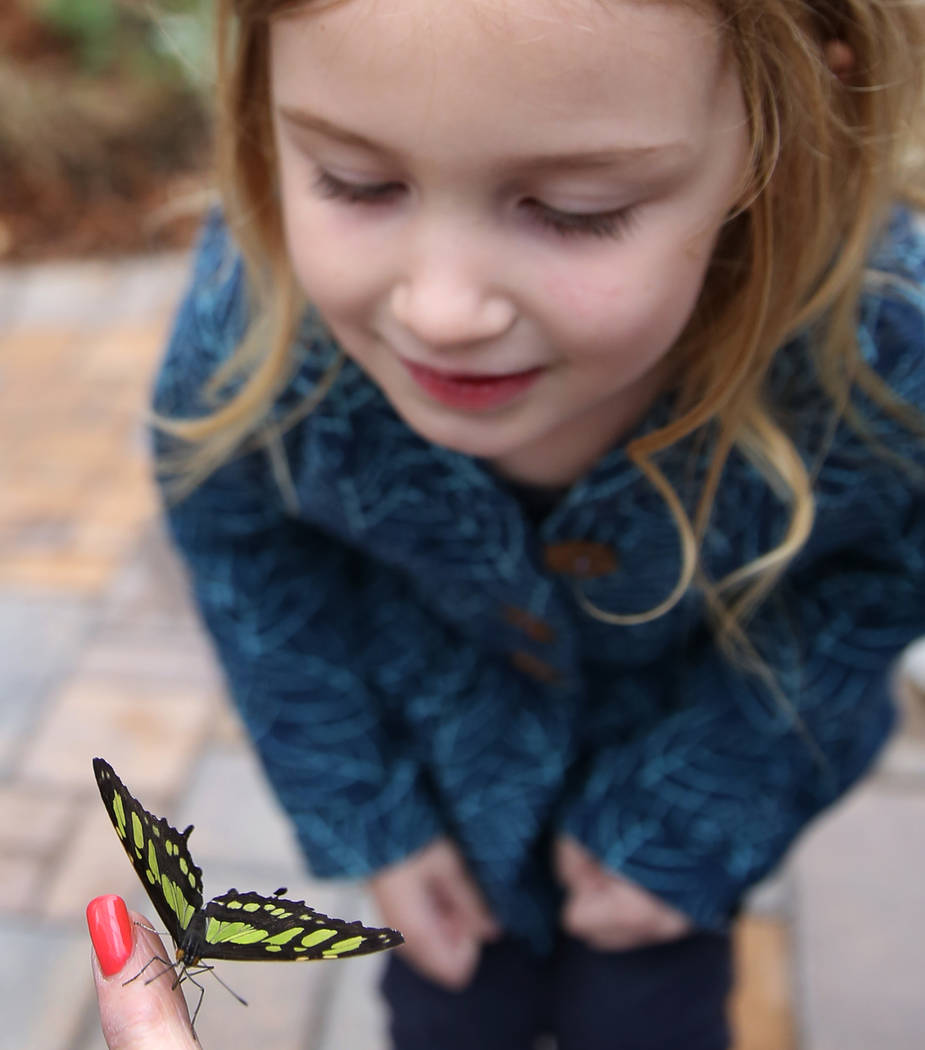 Wendy Hinton, 4, of Nashville, Tenn., looks at Malachite butterfly at the Butterfly Habitat at Springs Preserve on Tuesday, March. 12, 2019, in Las Vegas. Bizuayehu Tesfaye Las Vegas Review-Journa ...