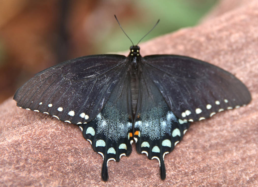A Pipeline Swallowtail butterfly on the rock at the Butterfly Habitat at Springs Preserve on Tuesday, March. 12, 2019, in Las Vegas. Bizuayehu Tesfaye Las Vegas Review-Journal @bizutesfaye