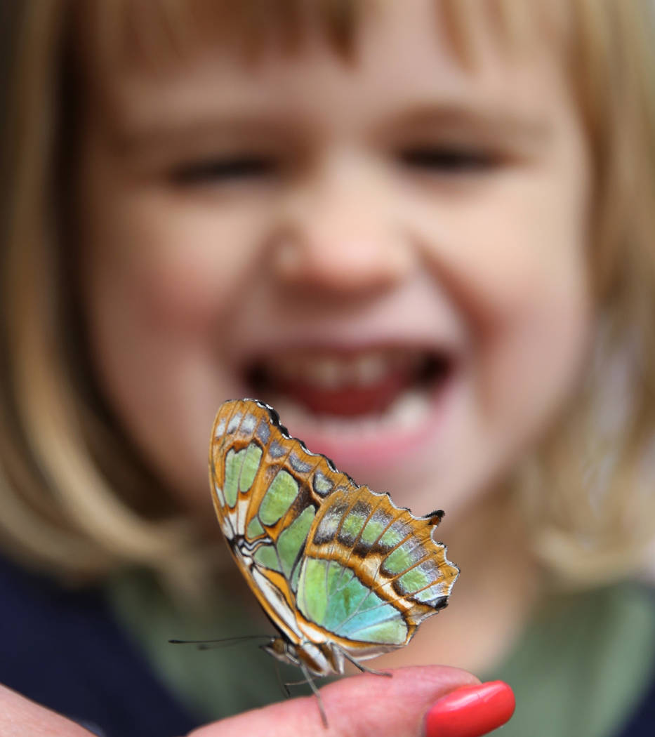 June Johnson, 3, of Las Vegas reacts as she looks at Malachite butterfly at the Butterfly Habitat at Springs Preserve on Tuesday, March. 12, 2019, in Las Vegas. Bizuayehu Tesfaye Las Vegas Review- ...