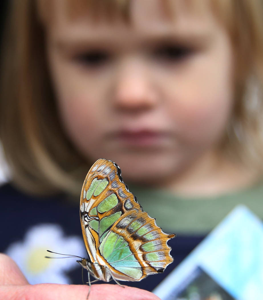 June Johnson, 3, of Las Vegas looks at Malachite butterfly at the Butterfly Habitat at Springs Preserve on Tuesday, March. 12, 2019, in Las Vegas. Bizuayehu Tesfaye Las Vegas Review-Journal @bizut ...