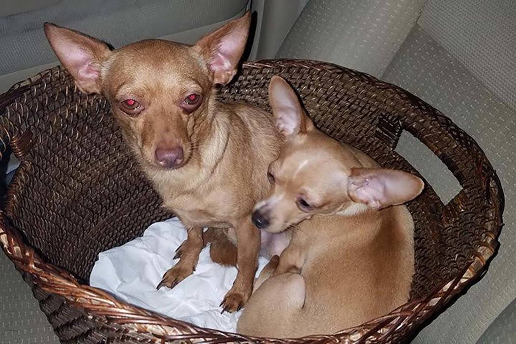 Several chihuahuas were rescued in a desert area in the southwest part of the Las Vegas Valley this week after possibly being dumped, according to rescuers. (Nevada Voters for Animals/Facebook)