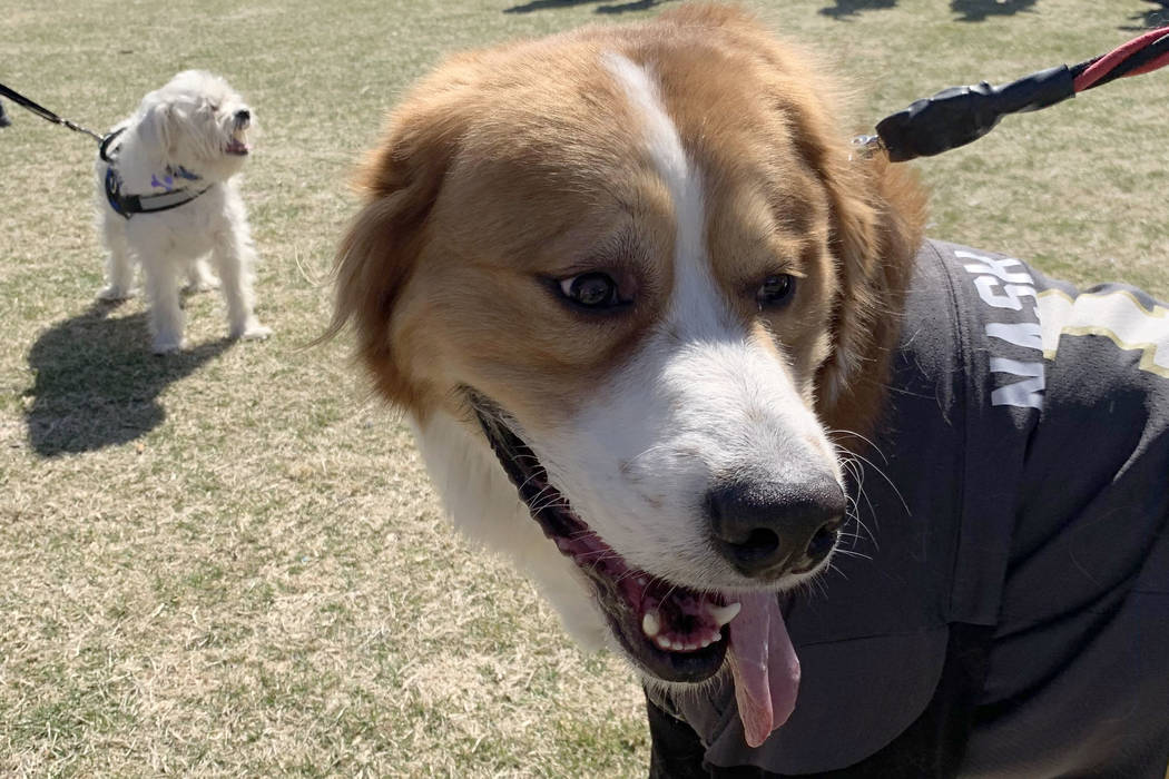 Las Vegas resident Melissa Sweat's dog Nash-Vegas, a Bernese mountain dog and Great Pyrenees mix poses for the camera at the 16th Annual Bark in the Park event at Cornerstone Park in Henderson, ...