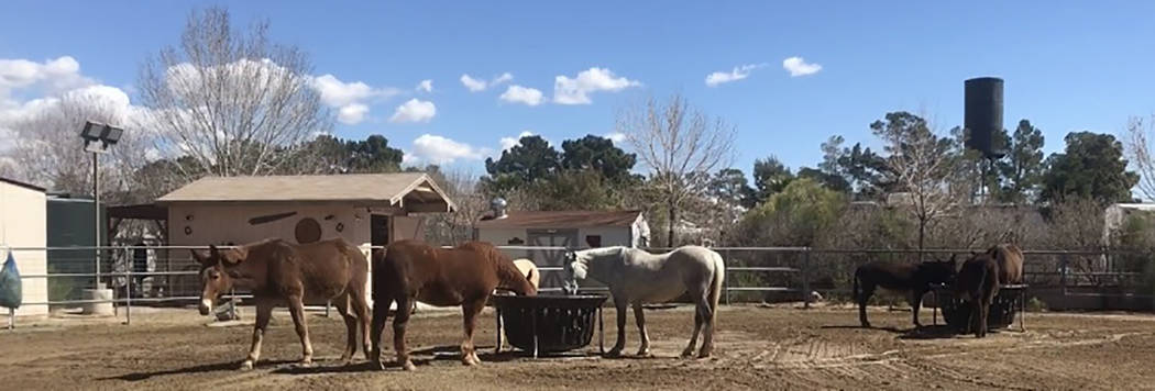 Horses and burros at Funny Farm Mustangs eat during feeding time. Brian Smith, the owner of the organization, ties bags of hay to different areas in the pin so that horses can walk by and graze, o ...