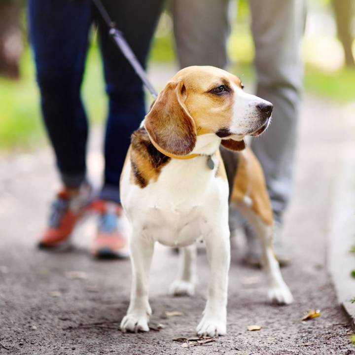 Young couplen walking with Beagle dog in the summer park. Obedient pet with his owner