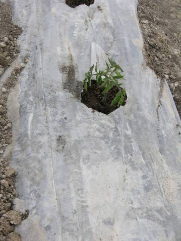 Garden soil, covered in plastic for a few days before planting, helps warm it up. The plastic should be sealed tightly against the soil. Then cut slits in the plastic where you plant. (Bob Morris)